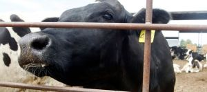 a-dairy-cow-peers-out-from-behind-a-fence-in-chino-california_4978709