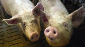 deux-cochons-de-l-elevage-de-porc-de-nicolas-leborgne-de-pluduno-dans-les-cotes-d-armor-le-2-mars-2015_5285599